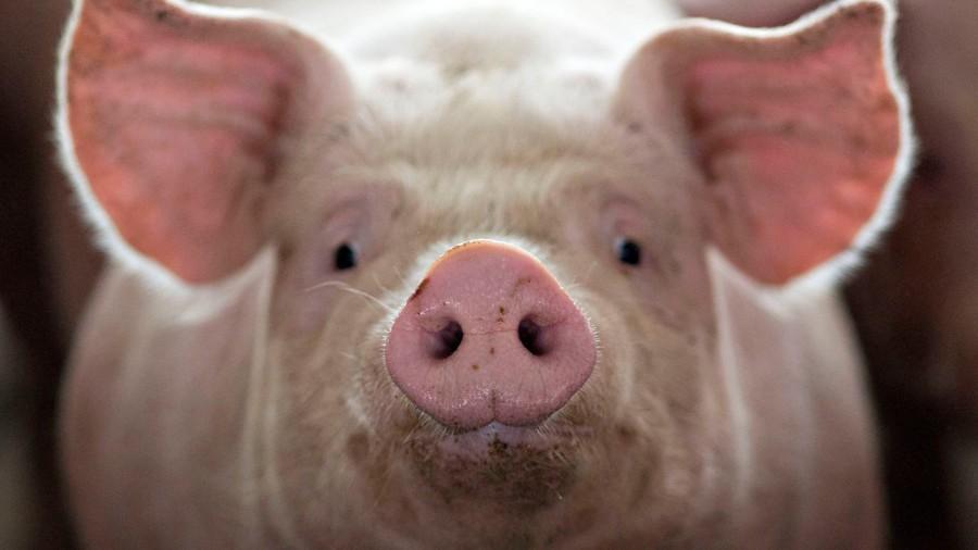 A fost extinsă perioada și majorate cotele de vânat la mistreț. Măsuri aprobate de Guvern pentru combaterea pestei porcine africane